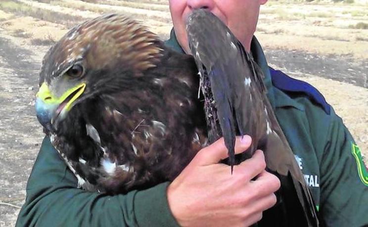 Un agente medioambiental con el águila real herida / Fotografía: LV
