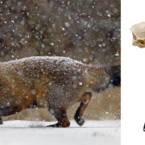 Bricocaza | Cómo conservar un cráneo de zorro