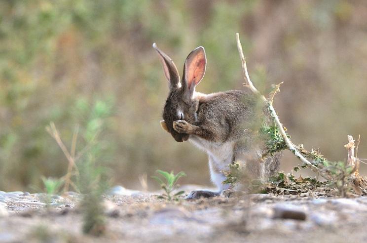 10 trucos para recuperar las poblaciones de conejo en tu coto