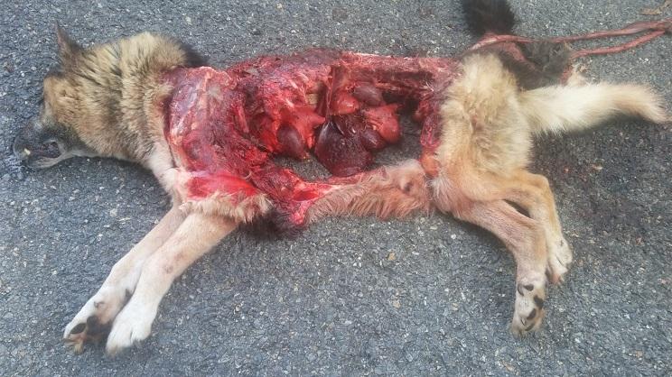 Los lobos se comen un pastor alemán junto a un pueblo
