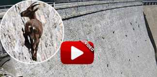 miniatura video cabra