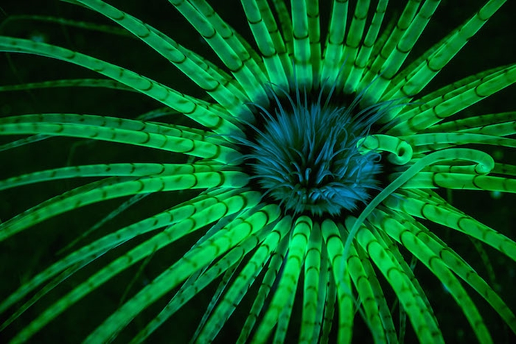 Las luces estroboscópicas con filtro azul estimulan los pigmentos fluorescentes en los tentáculos claros de una anémona en Hood Canal, Washington. / Fotografía: Infobae