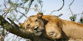 León en un árbol de Uganda / Fotografía: www.viajas.com