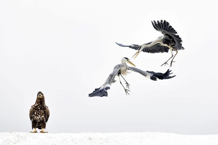 Dos garzas grises pelean ante la mirada de un águila de cola blanca en Hungría. / Fotografía: Infobae