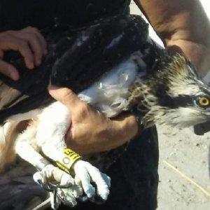 Un cazador salva a un águila pescadora que había quedado atrapada