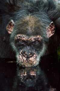 Un viejo chimpancé bebe agua en una charca, en Fongoli, Senegal. / FRANS LANTING