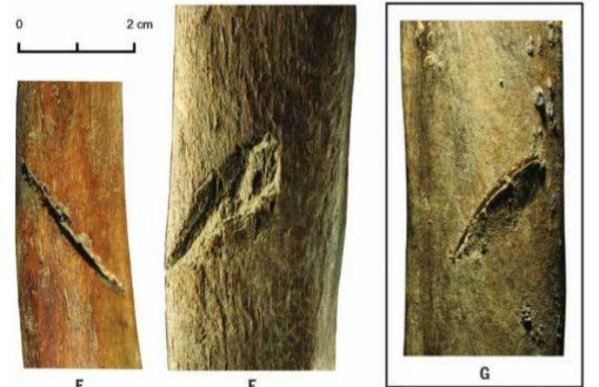 Detalle de las heridas en algunas costillas del mamut. / PITULKO