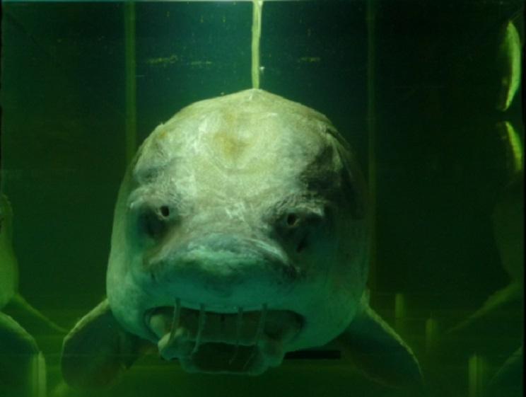 Pescan en Asturias un pez que se creía desaparecido de Europa