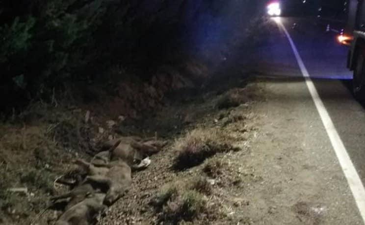 Una mujer mata a nueve jabalíes con su coche en Palencia y sale ilesa