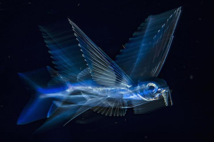 Animado por la corriente del Golfo, un pez volador atraviesa el agua oscura de noche a cinco millas de Palm Beach, Florida. / Fotografía: Infobae
