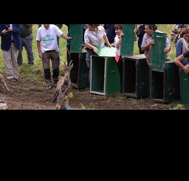 Francia libera ejemplares de cabra montés en su territorio