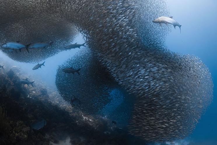 Preparándose para atacar, los tarpones atraviesan un banco de peces en la costa de Bonaire, en el Mar Caribe. / Fotografía: Infobae