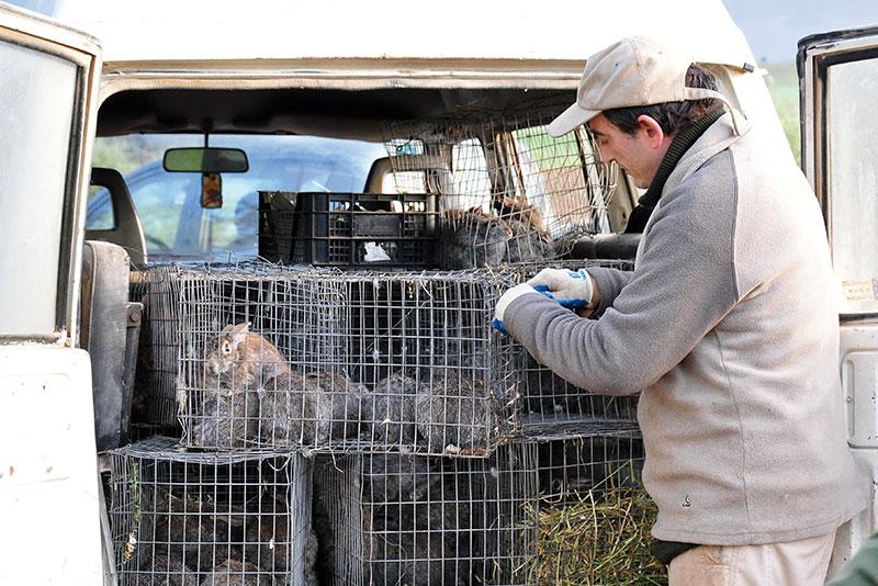 Un estudio del Irec confirma que el conejo de monte es un reservorio de fiebre Q