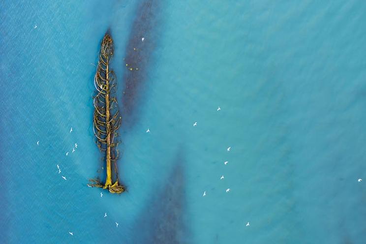 Las gaviotas migratorias huyen de un árbol de cedro que está siendo arrastrado río abajo por un río glacial en British Columbia, Canadá. / Fotografía: Infobae