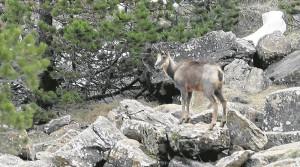 Uno de los sarrios que campan por los montes del Parque Nacional de Ordesa. / Foto: Rafael Gobantes