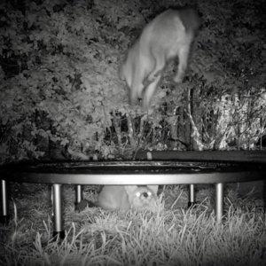 Una cámara trampa graba a dos zorros saltando en una cama elástica