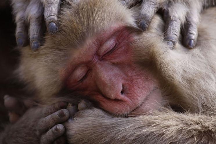 Un macaco japonés descansa en las orillas de las famosas aguas termales. / Fotografía: Infobae