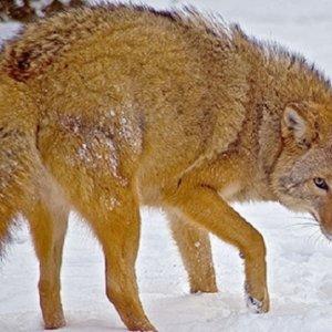 Surge el «coyolobo», una nueva especie mezcla de lobo, perro y coyote