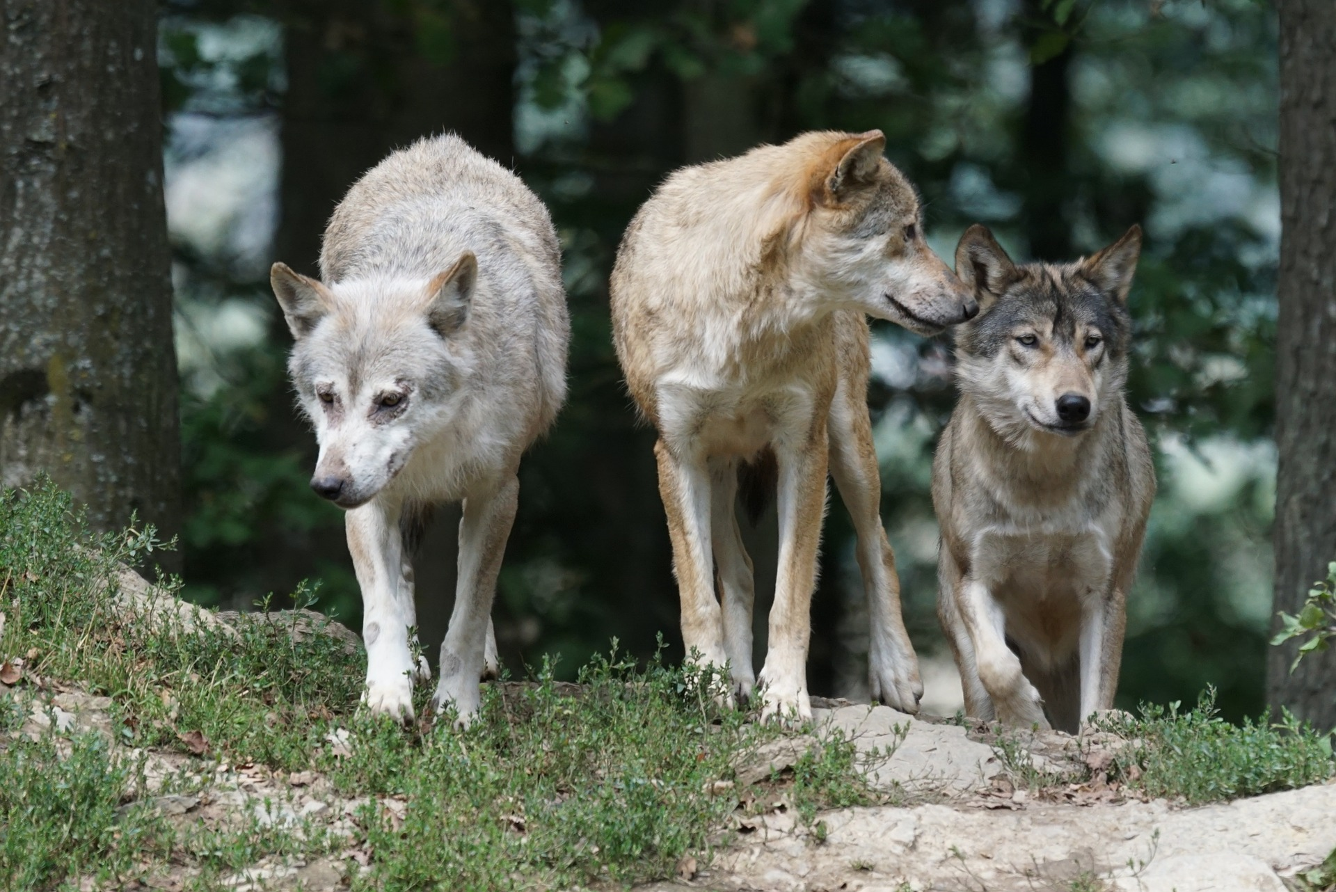La ONC reclama al Ministerio la elaboración urgente de un censo nacional de lobo
