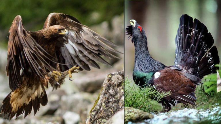 Águila y urogallo. ©Shutterstock