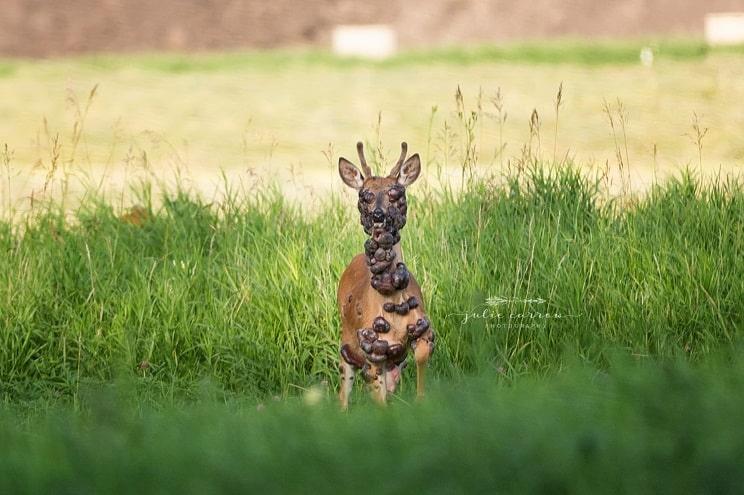 Un fotógrafo capta la terrible imagen de un ciervo lleno de tumores