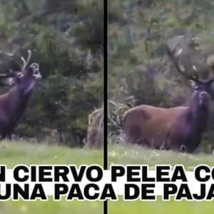 Un ciervo 'cornea' en múltiples ocasiones una paca de paja, ¿por qué crees que actúa así?