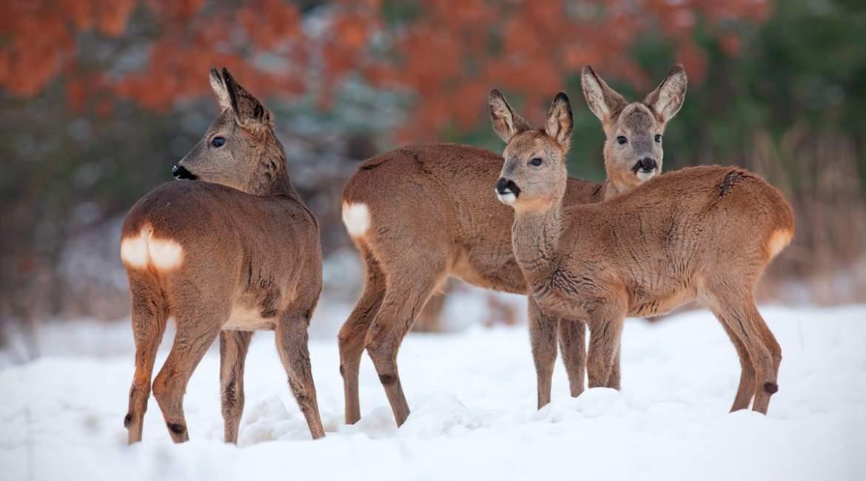 Caza de corzas en invierno: ¿Cuál debo elegir?