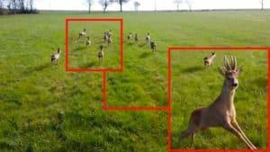 Un dron graba a una manada de 11 corzos y uno de los machos le hace frente