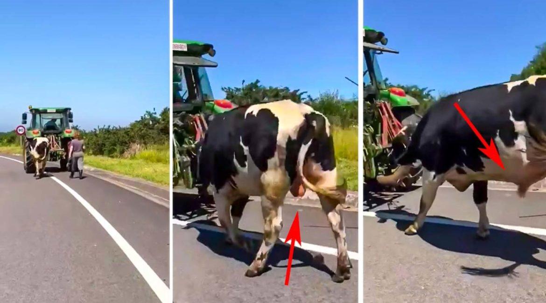 El animalista que confundió un semental con una vaca lechera con y otras equivocaciones épicas