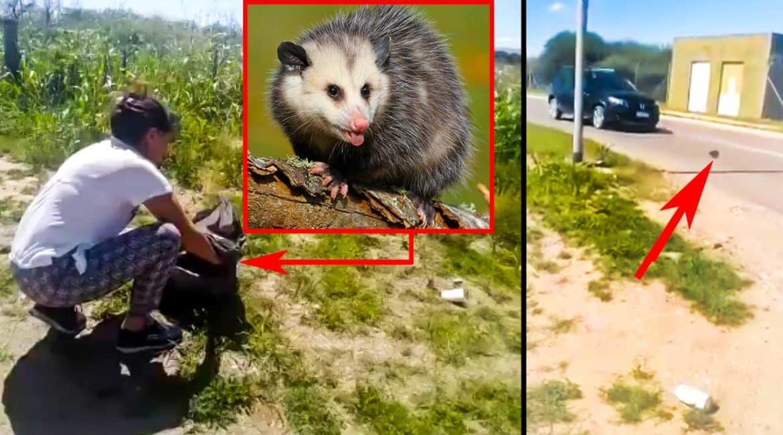 Una animalista libera a un depredador junto a una carretera y segundos después lo pilla un coche