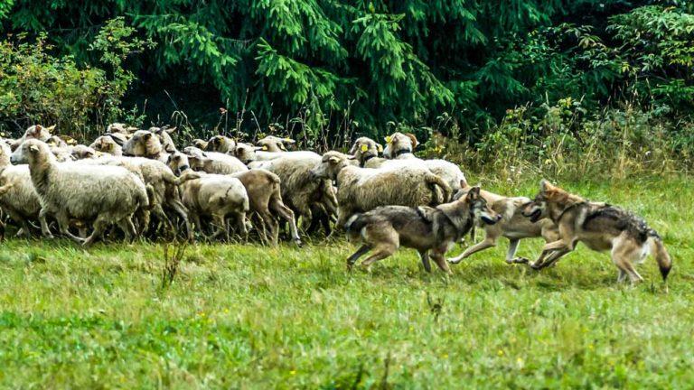 manada de lobo atacando ovejas