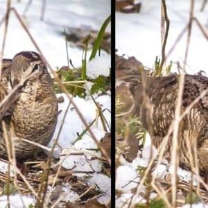 Preciosa escena de una becada alimentándose entre la nieve