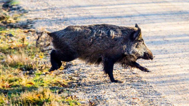 La caza del jabalí se prorroga en Castilla-La Mancha. © Jara y Sedal