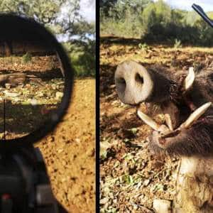 Caza un jabalí con unos colmillos como puñales en un montería en Córdoba