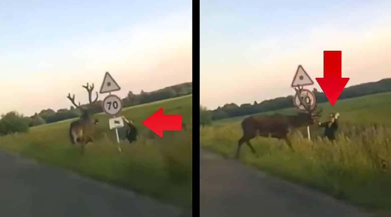 Un ciervo ataca a un hombre en mitad de una carretera