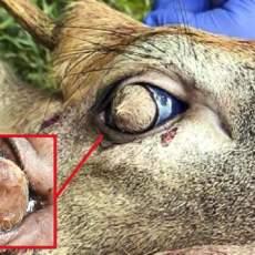 Hallado un sorprendente ciervo con pelo en los ojos