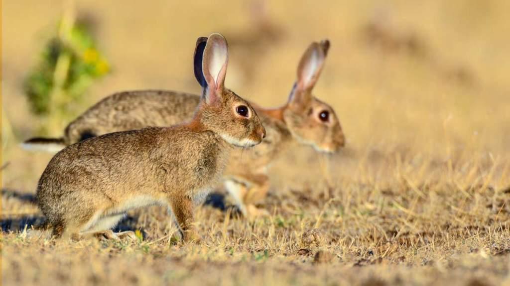 Dos conejos. © JDG
