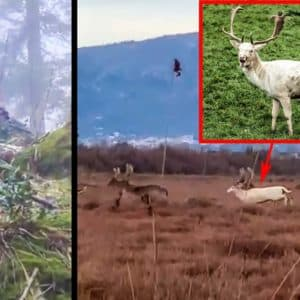 Un gamo y un corzo blancos se hacen virales pero... ¿por qué algunos países prohíben su caza?