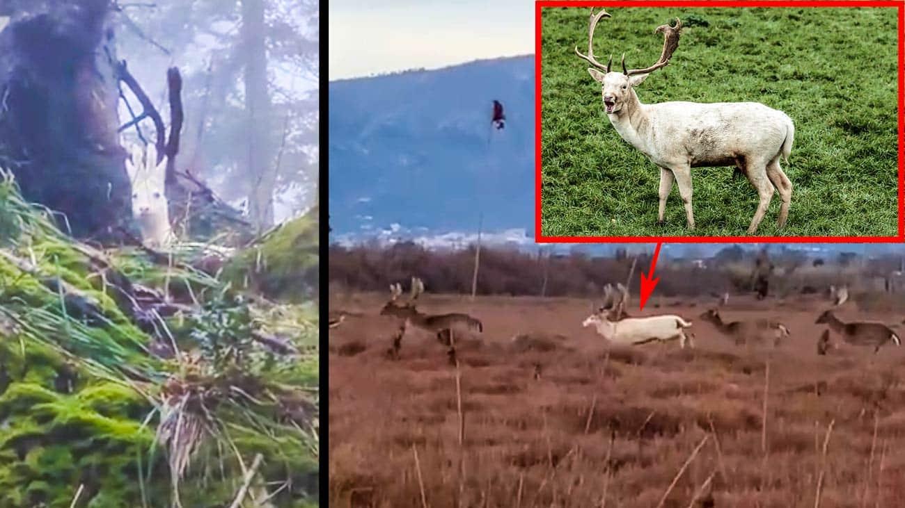 El corzo y el gamo blancos que se han hecho virales. © YouTube