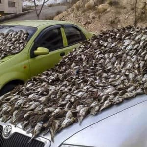Cazadores españoles denuncian una foto de dos coches cubiertos de zorzales muertos