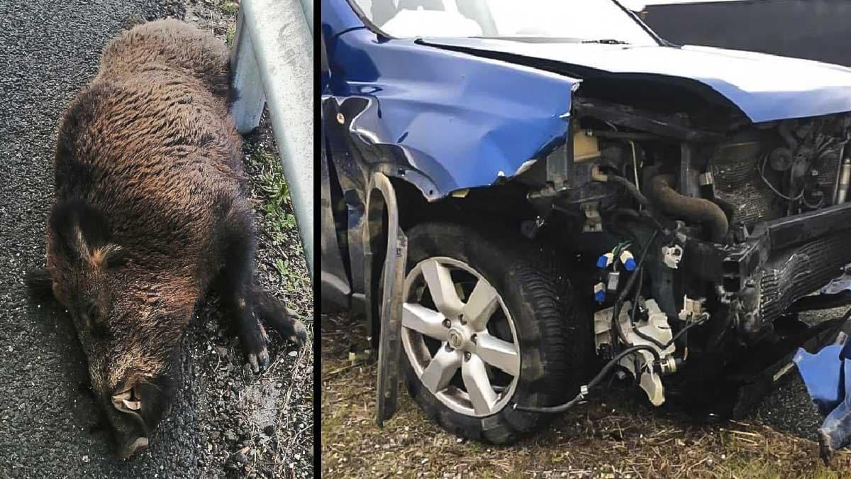 Un jabalí y un coche accidentado.