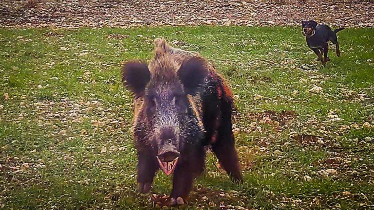 El jabalí intenta atacar al cazador. © YouTube