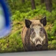 Un jabalí ataca y hiere a un conductor que se bajó del coche en Navarra