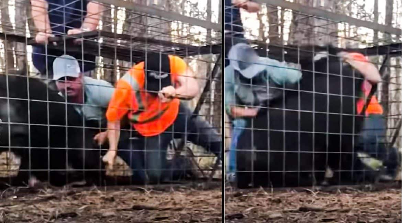 Entran en una jaula trampa para sacar a un jabalí vivo y no tardan en arrepentirse