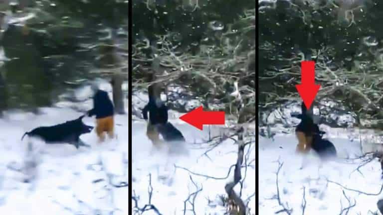 El jabalí ataca al cazador