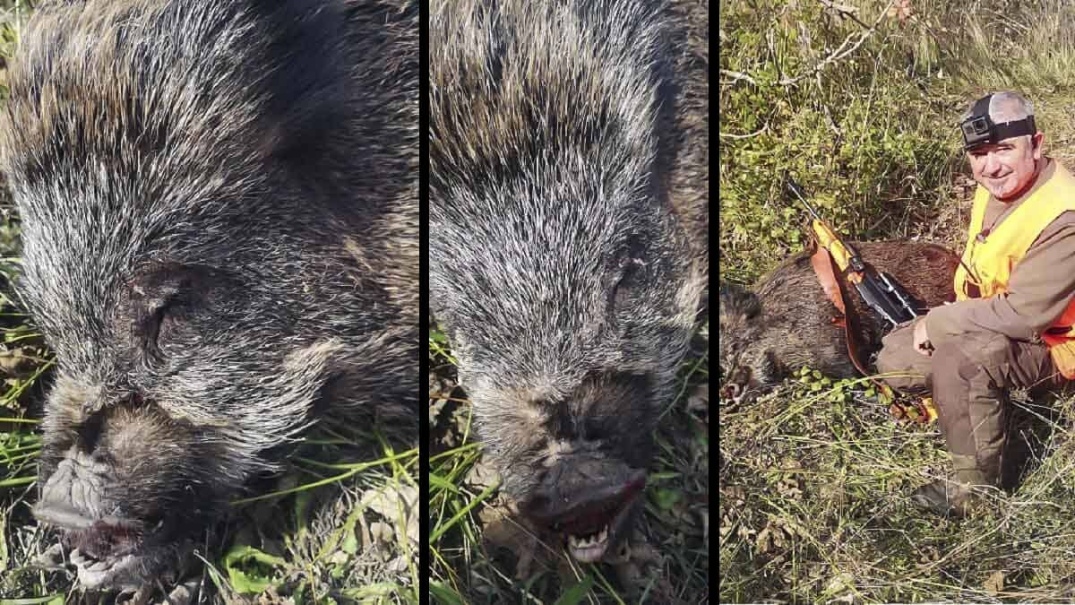 Esta es la consecuencia de liberar cerdos vietnamitas: están hibridando con el jabalí