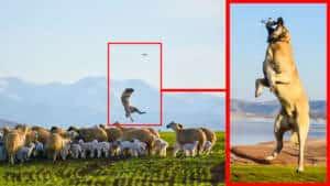 No solo protege a las ovejas del lobo: este kangal caza a un dron de un increíble salto