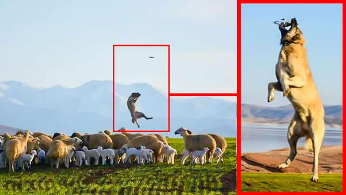 El kangal saltando a por el dron.