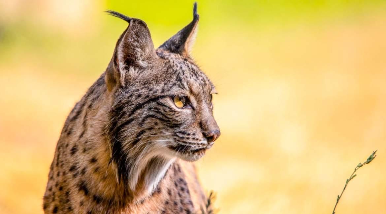 Los cazadores sentarán en el banquillo al furtivo que ha  matado a un lince con postas en Doñana