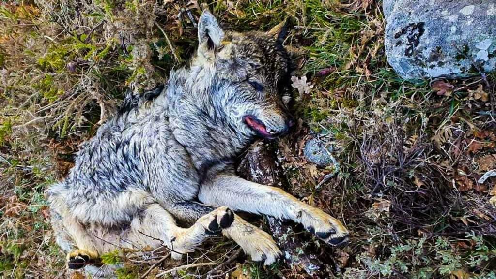 Otra imagen del lobo ibérico. © Facebook